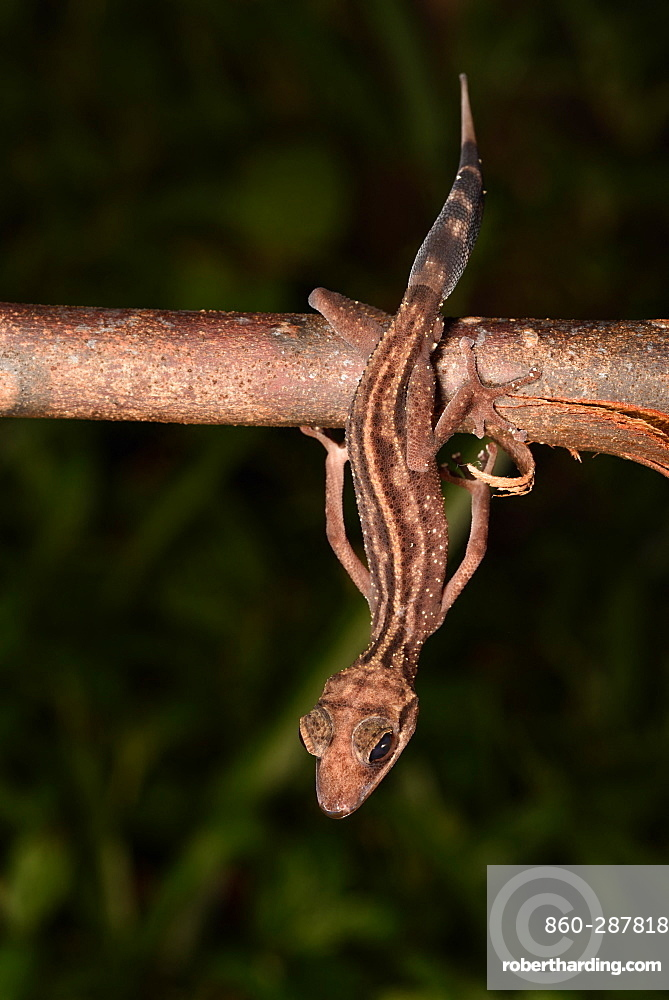 Graceful Madagascar Ground Gecko (Paroedura gracilis) in forest at night, Andasibe, Périnet, Région Alaotra-Mangoro, Madagascar