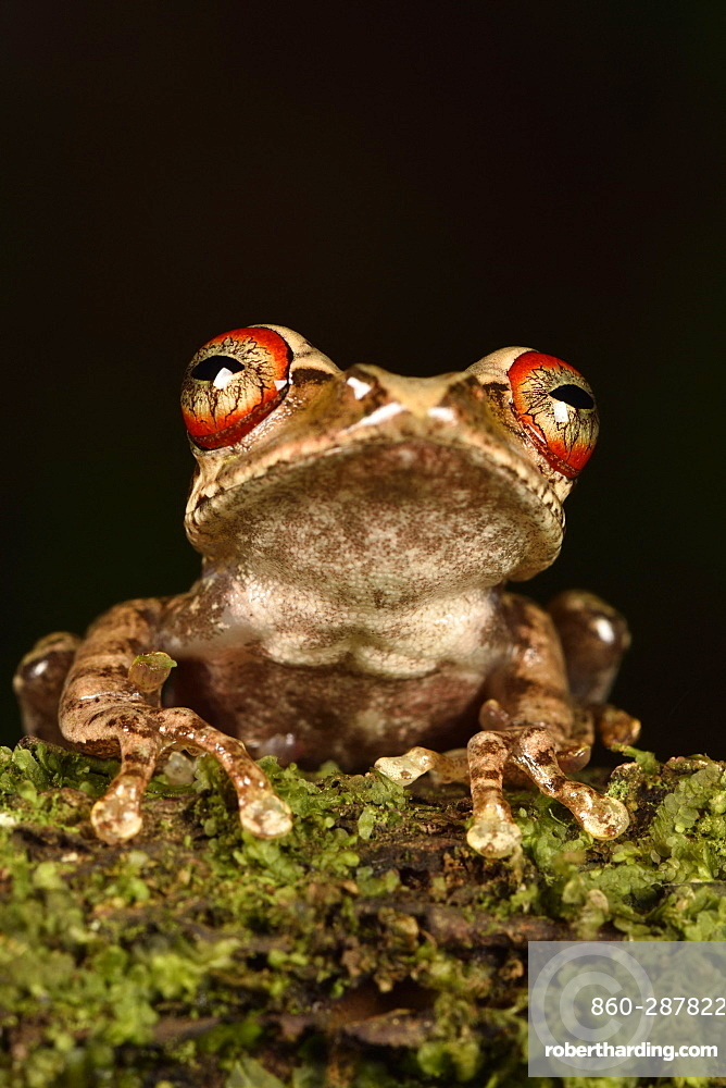 Malagasy tree frog (Boophis rufioculis), Andasibe, Périnet, Région Alaotra-Mangoro, Madagascar