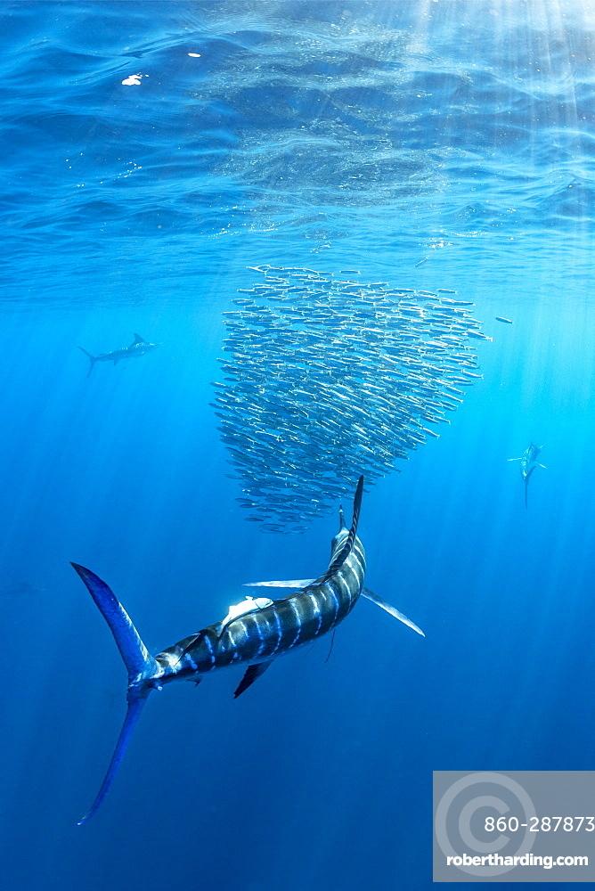 Striped marlin (Tetrapturus audax) feeding on sardine's bait ball (Sardinops sagax), Magdalena Bay, West Coast of Baja California, Pacific Ocean, Mexico