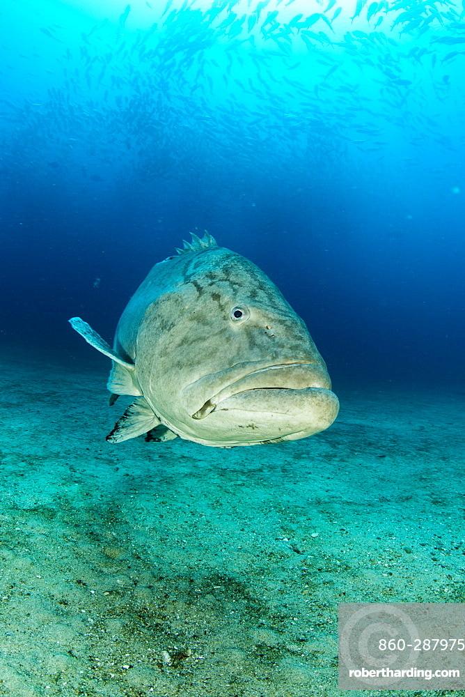Big Gulf grouper (Mycteroperca jordani), Cabo Pulmo Marine National Park, Baja California Sur, Mexico