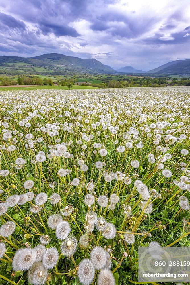 Dandelions (Taraxacum officinale) in full fructification in a meadow under a stormy sky, Seyssel, Haute-Savoie, France