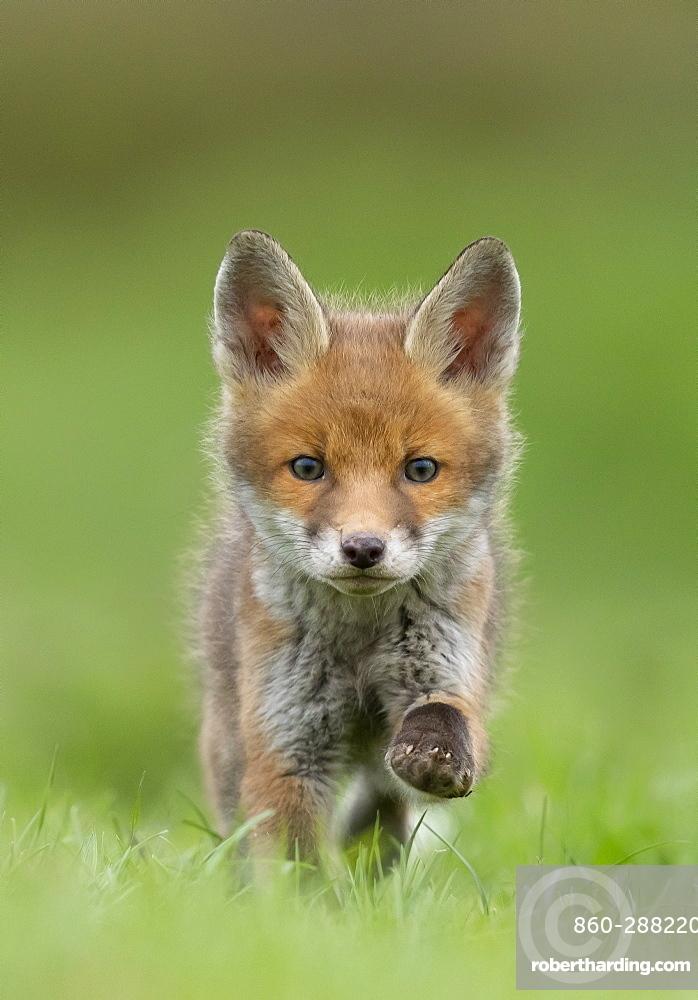 Red fox (Vulpes vulpes) cub running in a meadow, England