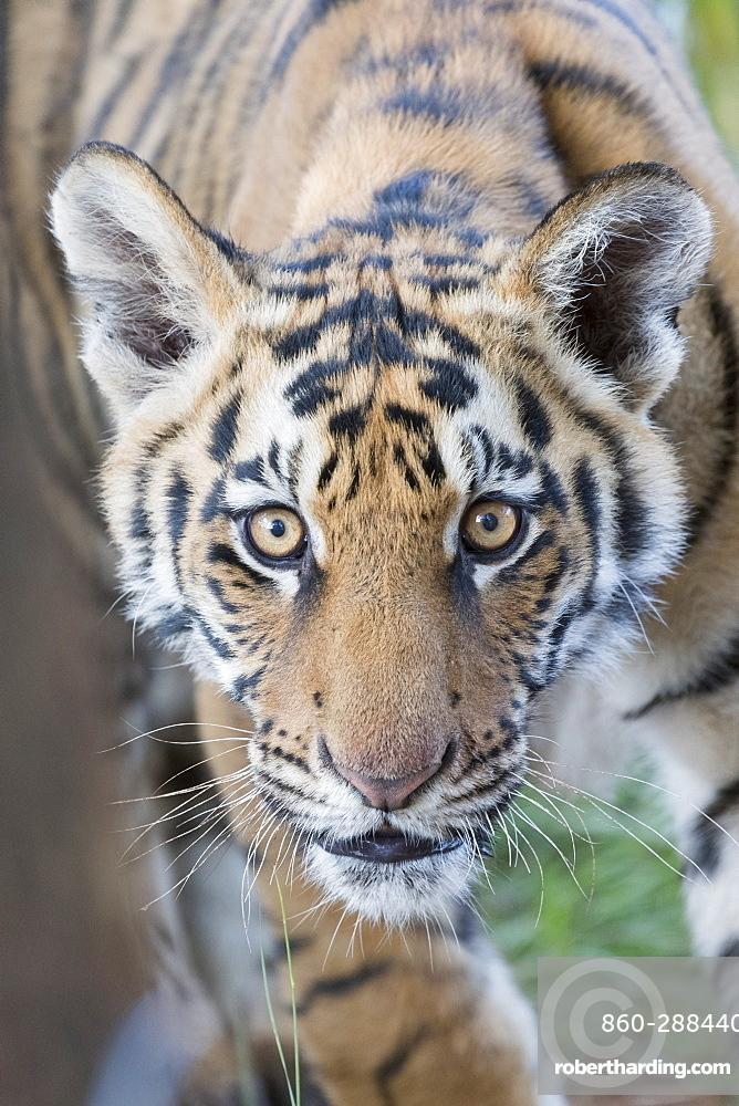 Asian (Bengal) Tiger (Panthera tigris tigris),young 6 months old, Private reserve, South Africa