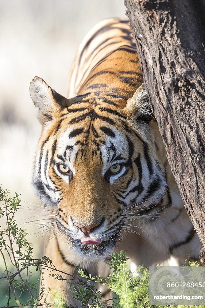 Asian (Bengal) Tiger (Panthera tigris tigris), walking, Private reserve, South Africa