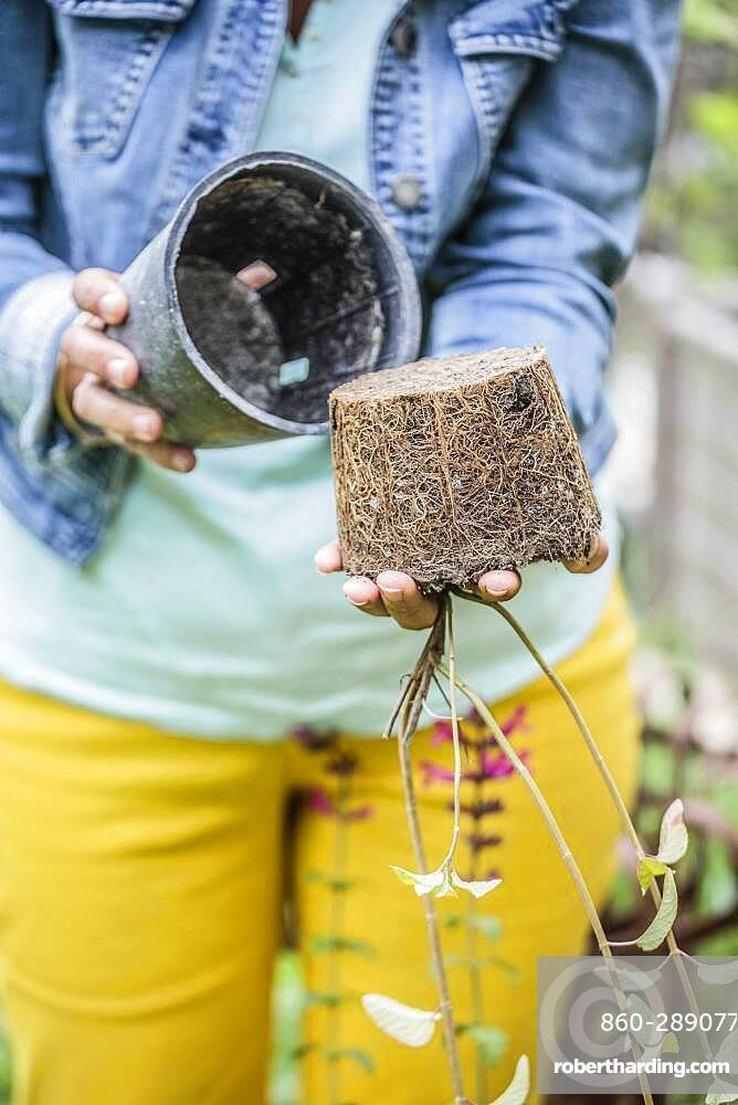 Planting a sage step by step: take the plant out of the pot.