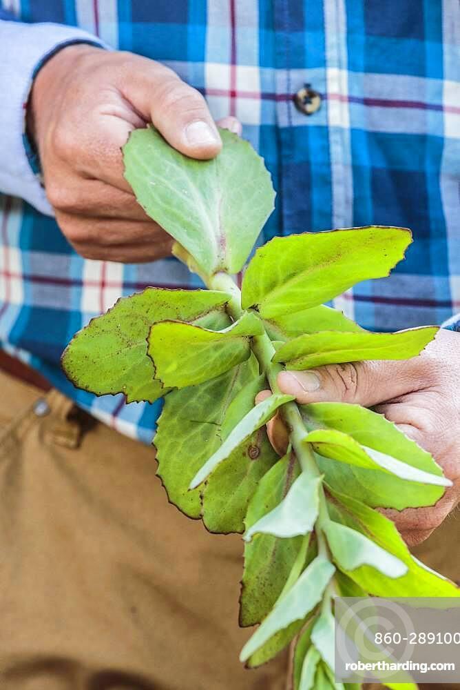 Cutting of autumn sedum (Hylotelephium spectabile) from leaf cuttings, in summer.