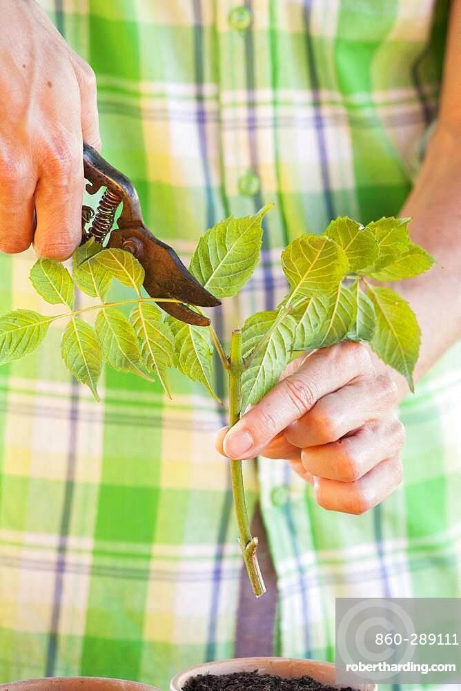 Cutting the bignone (Campsis radicans) 3. Reduce the leaf area