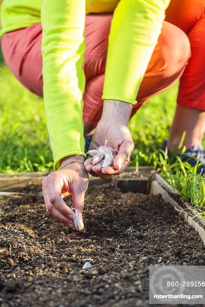 Garlic clove planting