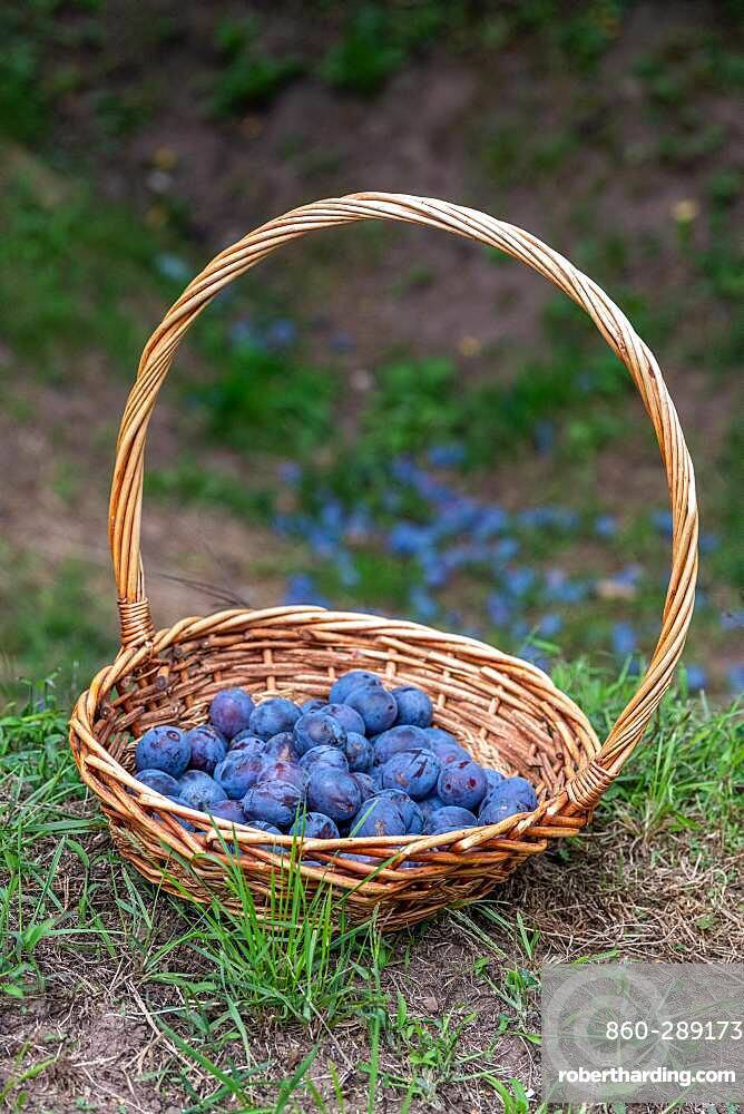 Basket filled with plum quetsches 'Stanley' in summer, Alsace