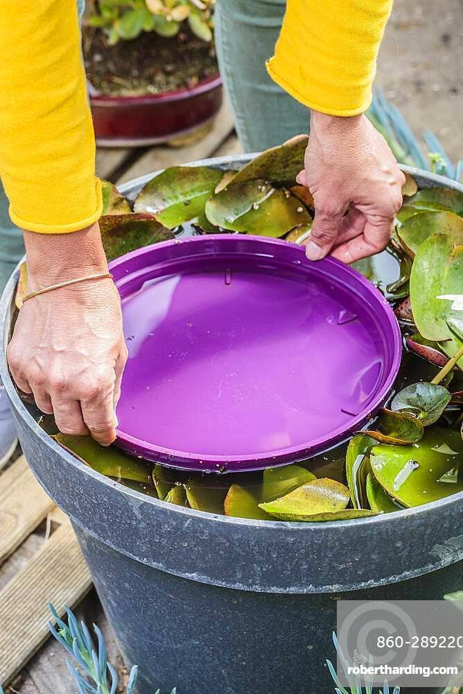 Tip against aphids on water lily (Nymphaea 'Pygmaea Helvola') leaves: immerse the leaves for a few hours to drown them.