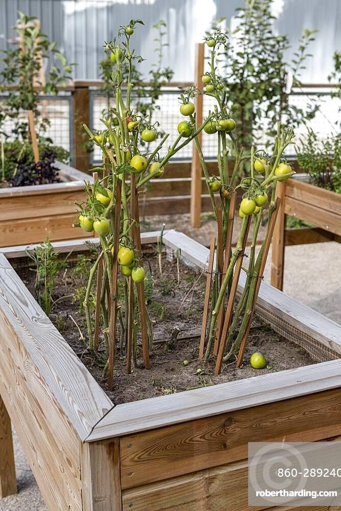 Tomatoes grown in a wooden bin, summer
