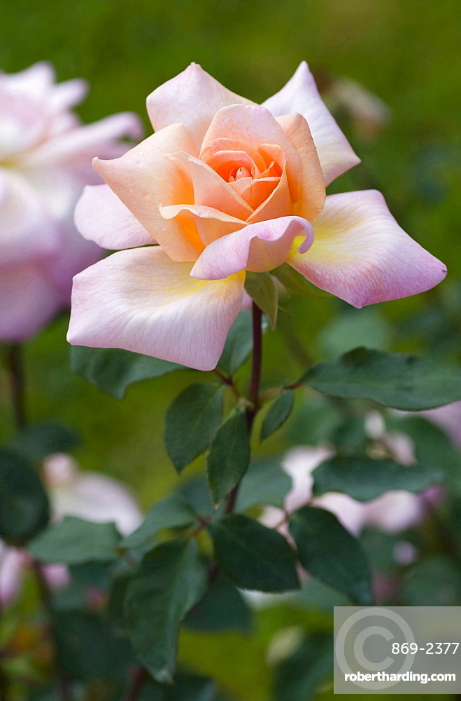 rose 'Michelle Meilland' pink blossom rose garden Gonneranlage Baden-Baden Baden-Wurttemberg Germany