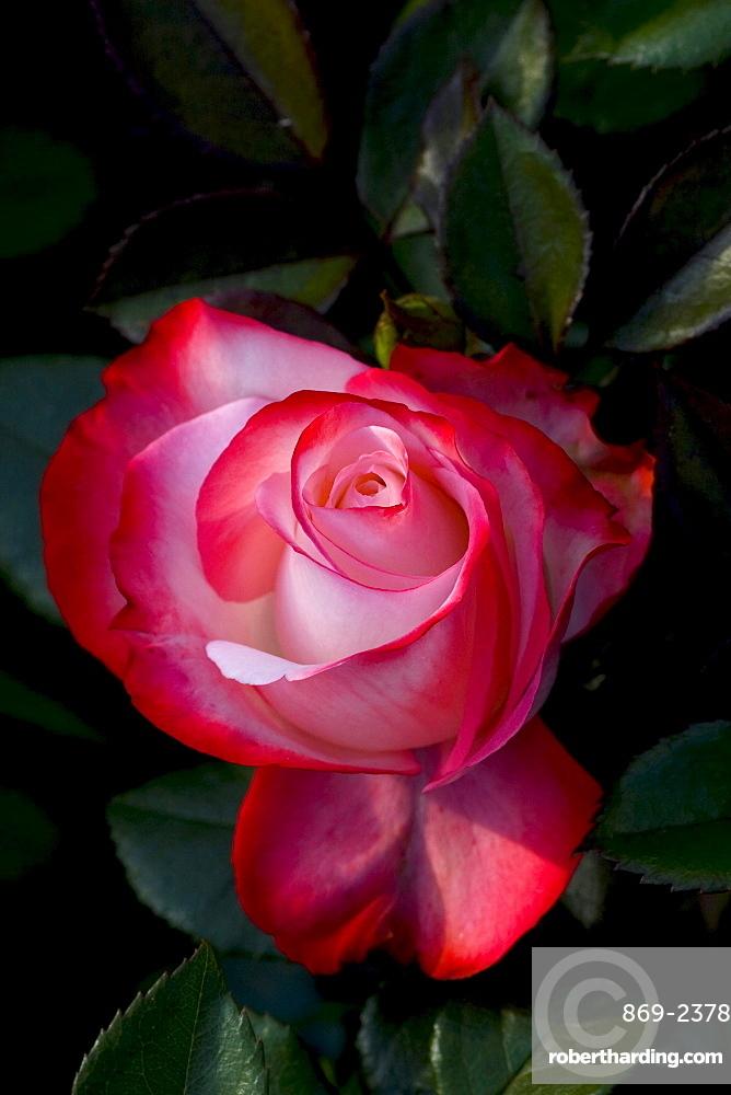 rose 'Nostalgie' red blossom rose garden Gonneranlage Baden-Baden Baden-Wurttemberg Germany