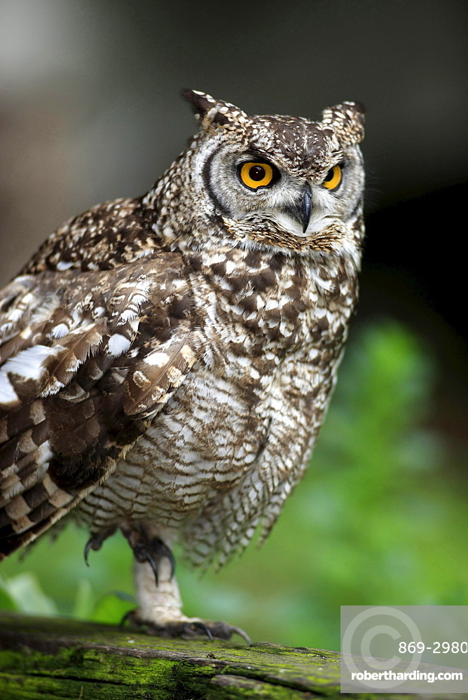 spotted eagle owl spotted eagle owl on tree trunk portrait South Africa Africa