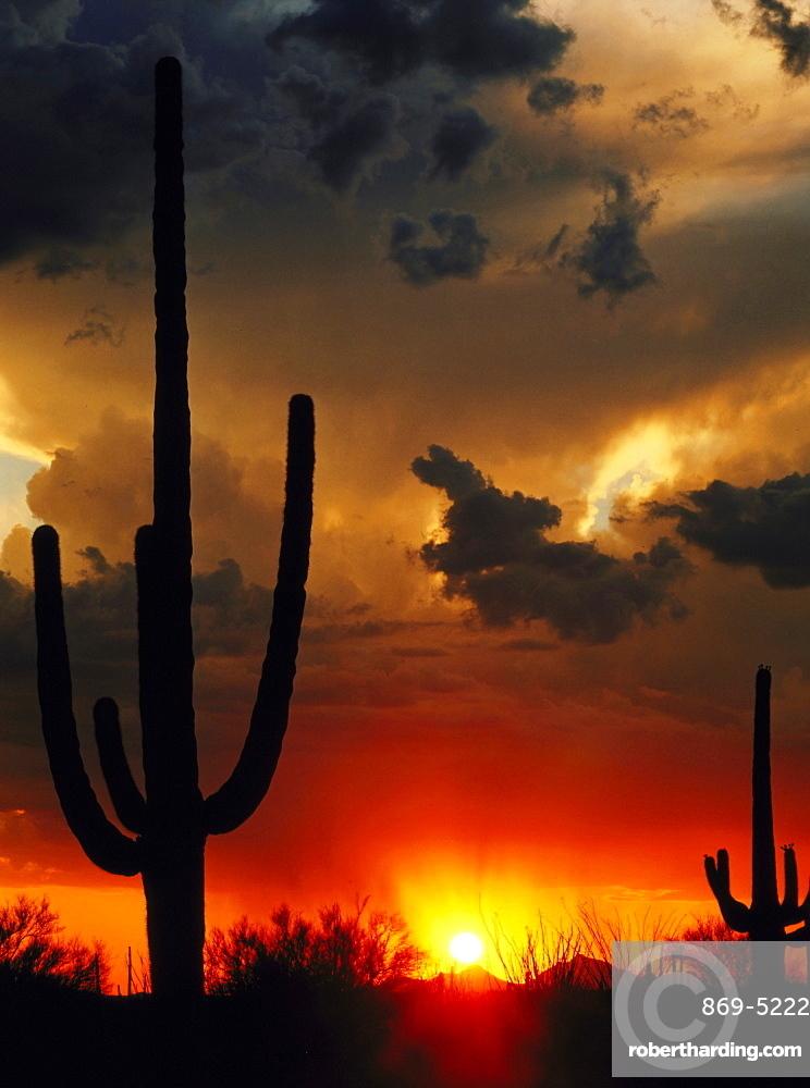 saguaro cactus saguaro cactus saguaros silhouetted at sunset mood Saguaro National Monument Arizona USA (Cereus giganteus oder Carnegia gigantea Carnegiea gigantea syn. Cereus giganteus)