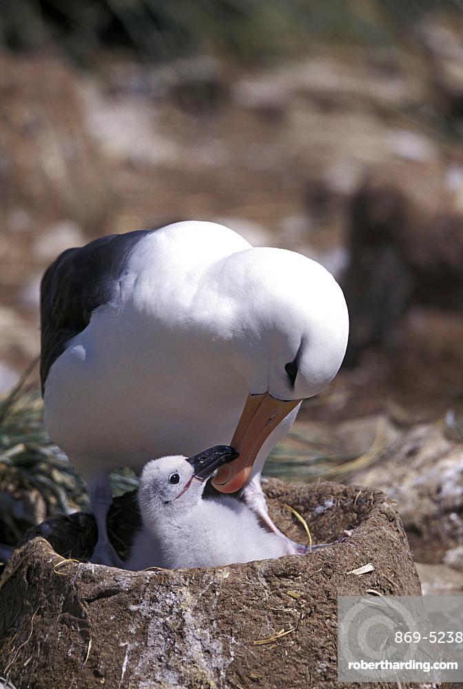 black-browed albatross black-browed mollymawk Blackbrowed Albatross Diomedea melanophris on nest with chick Jason Falkland Islands Falkland Islands South Atlantic (Thalassarche melanophrys syn. Diomedea melanophris)
