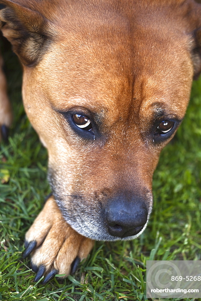 domesticated dog dog lying looking sad head portrait Sweden Scandinavia Europe (Canis lupus familiaris)