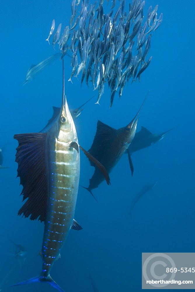 Atlantic sailfish Atlantic sailfish hunting prey sardines Mexico (Istiophorus albicans)