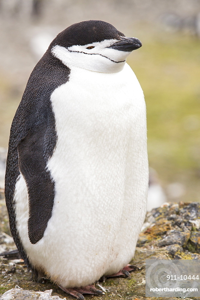 A Chinstrap Penguin, Pygoscelis antarctica, at Hannah Point on Livingston Island in the South Shetland Islands, Antarctic. Behind the penguin is lots of greenery, plants that are expanding as the Antarctic Peninsular warms as a result of climate change,