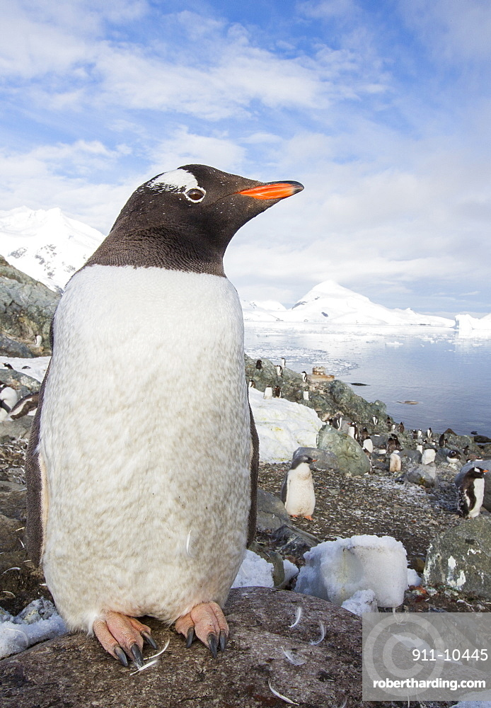 Gentoo Penguins amongst stunning coastal scenery in Paradise Bay off Graham Land on the antarctic Peninsular. the Peninsular is one of the most rapidly warming places on the planet.