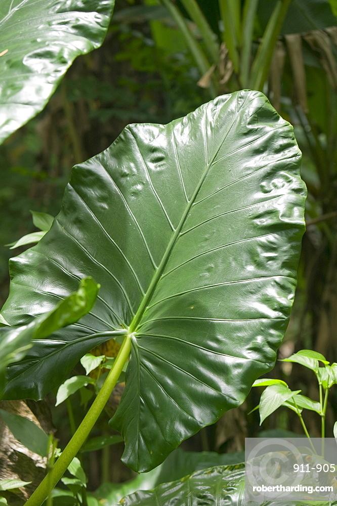 Tropical rainforest plants on Fiji, | Stock Photo
