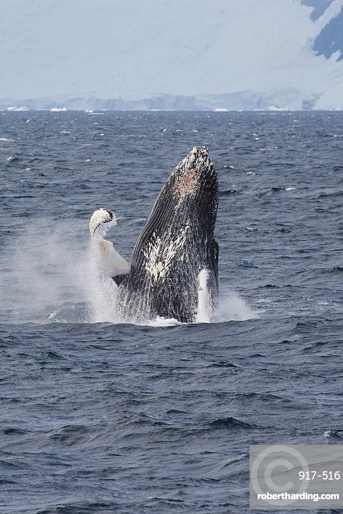 Humpback whale (Megaptera novaeangliae) breaching, Antarctic Peninsula, Antarctica, Polar Regions