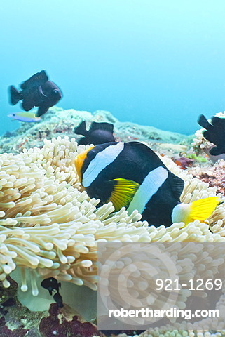 Clark's Anemonefish (Amphiprion clarkii,) Southern Thailand, Andaman Sea, Indian Ocean, Asia