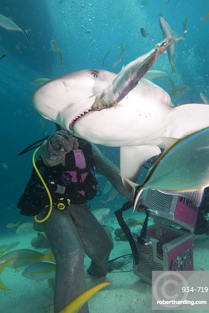 Shark feeding at Stuart Cove, Bahamas, West Indies, Central America