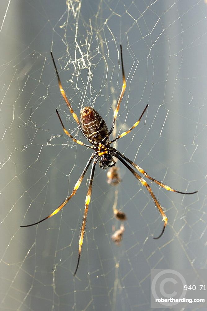 Female Coastal Golden Orb Weaver Spider Stock Photo