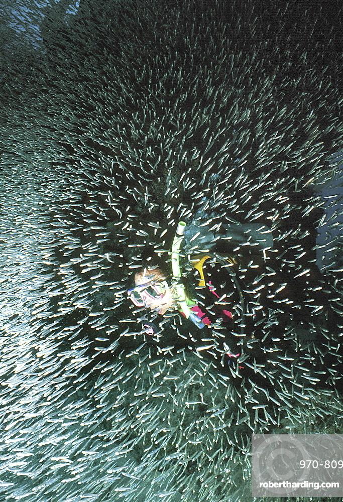Scuba diver emerging through 'cloud' of silverside minnow, Little Cayman Island, Cayman Islands, Caribbean