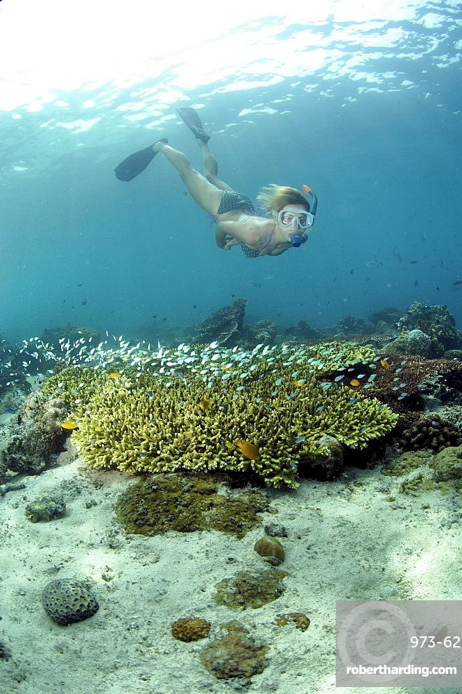 Snorkler and Stony Corals (Acropora sp).  Borneo, Malaysia   (RR)