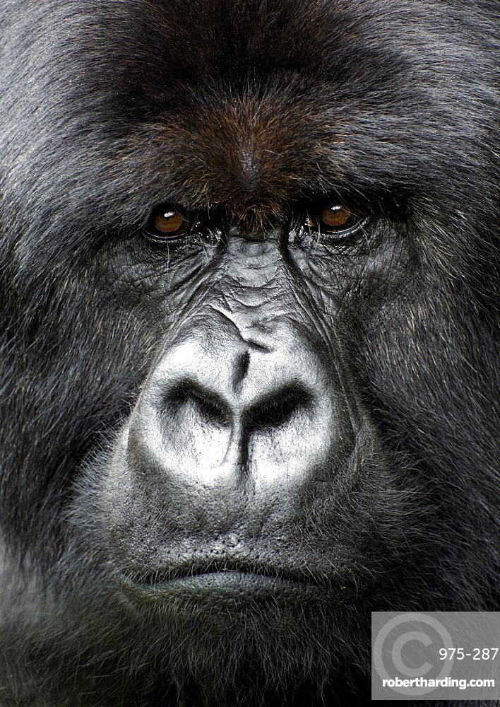 Silverback gorilla looking intensely, in the Volcanoes National Park, Rwanda, Africa