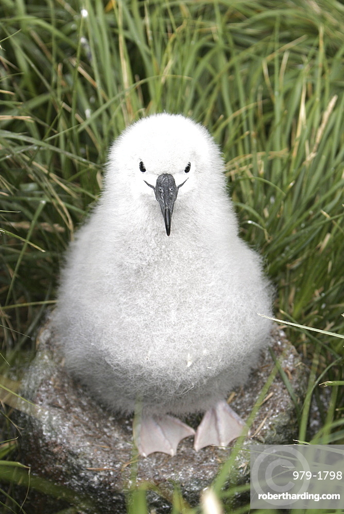 Grey-headed Albatross (Thalassarche chrysostoma) chick on nesting grounds in Elsehul Bay, South Georgia Island.
