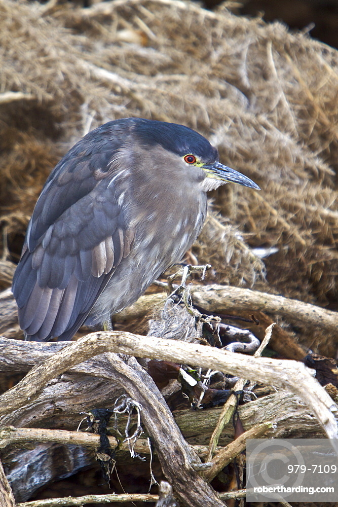 An adult Black-crowned Night Heron (Nycticorax nycticorax falklandicus) foraging at low tide on Carcass Island in the Falkland Islands, South Atlantic Ocean. This species is a medium-sized heron, adults are 64 cm long and weigh 800 g. They have a black crown and back with the remainder of the body white or grey, red eyes, and short yellow legs. Young birds are brown, flecked with white and grey. The breeding habitat is fresh and salt-water wetlands throughout much of the world. Black-crowned Night Herons nest in colonies on platforms of sticks in a group of trees, or on the ground in protected locations such as islands or reedbeds. Three to eight eggs are laid. This heron is migratory outside the tropical parts of its extensive range, where it is a permanent resident. These birds stand still at the water's edge and wait to ambush prey, mainly at night. They primarily eat small fish, crustaceans, frogs, aquatic insects, and small mammals. During the day they rest in trees or bushes. The scientific name, Nycticorax, means