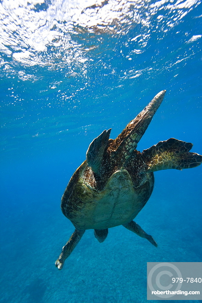 Adult male green sea turtle (Chelonia mydas) in the protected marine sanctuary at Honolua Bay on the northwest side of the island of Maui, Hawaii, USA