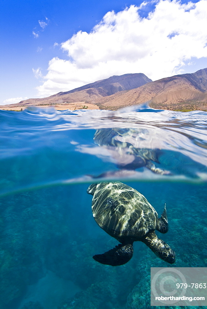 Green sea turtle (Chelonia mydas) at cleaning station at Olowalu Reef, Maui, Hawaii, USA