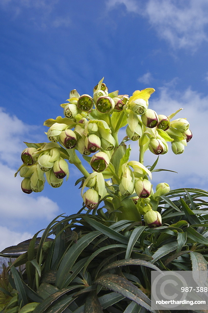 Stinking Hellebore Helleborus Foetidus Angus Stock Photo