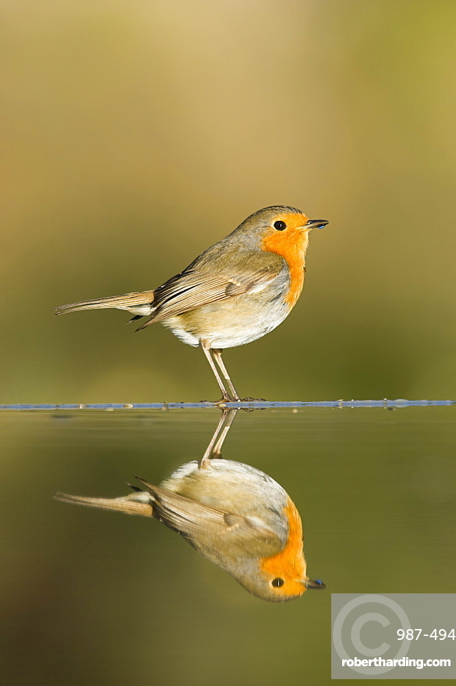 Robin (Erithacus rubecula) reflected in a pond, Alicante, Spain