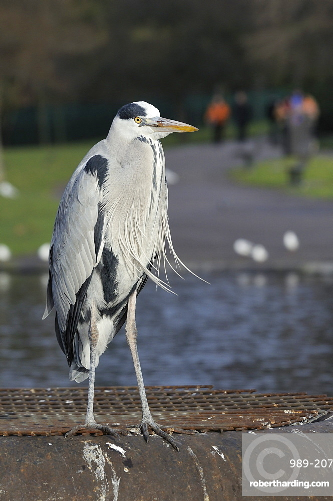 Grey heron (Ardea cinerea) standing on metal platform in boating lake with people in the background, Regent's Park, London, England, United Kingdom, Europe