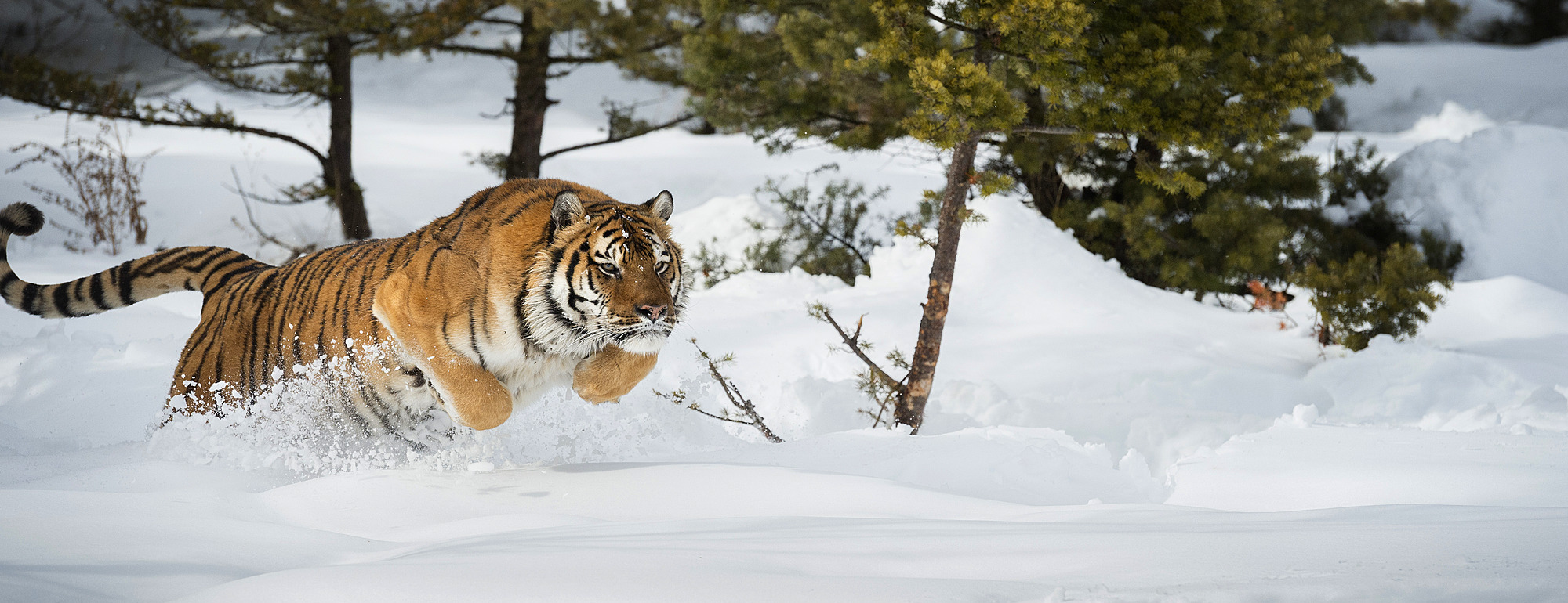 1185-40 ( Janette Hil ) - Siberian Tiger (Panthera tigris altaica), Montana, United States of America, North America