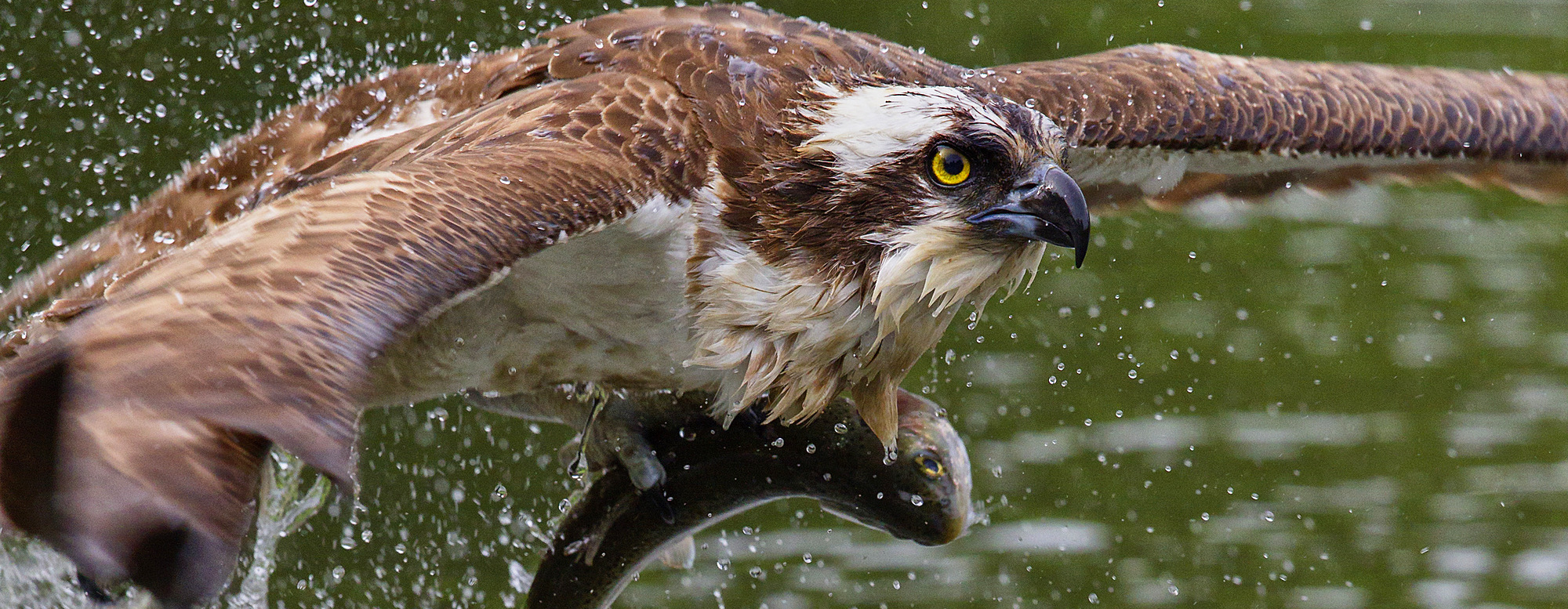 1219-147 ( Garry Ridsdale ) - Osprey (Pandion haliaetus) flying low above the water with a freshly caught fish in its grasp, Pirkanmaa, Finland, Scandinavia, Europe