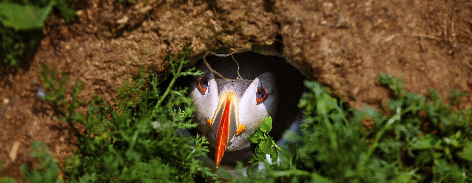 1259-3 ( David Rocaberti ) - An Atlantic Puffin peers out from its burrow on Skomer Island, Wales, United Kingdom, Europe